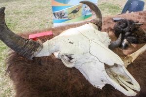 Peau et crâne de bison
