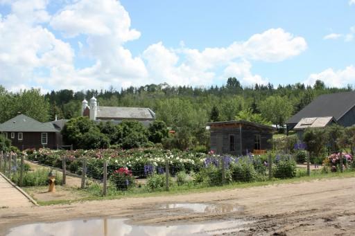 jardin de pivoines